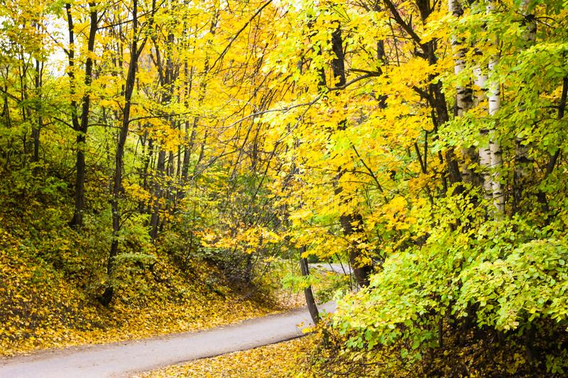 Yellow autumn forest in Gorokhovets stock photos