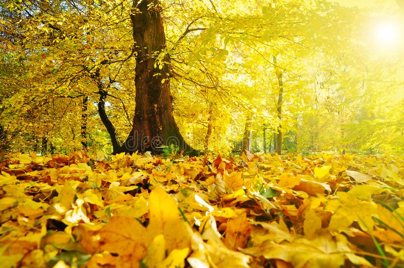 Yellow autumn forest royalty free stock images