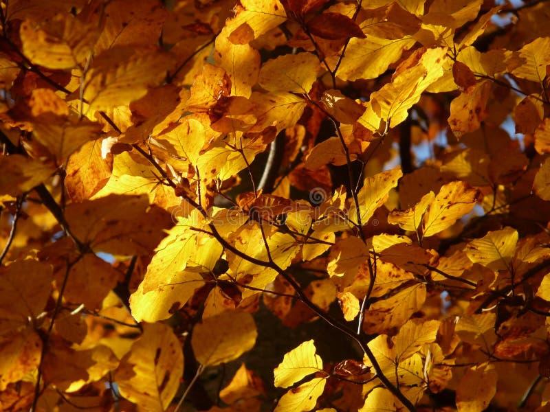 Yellow, Autumn, Leaf, Deciduous stock photo