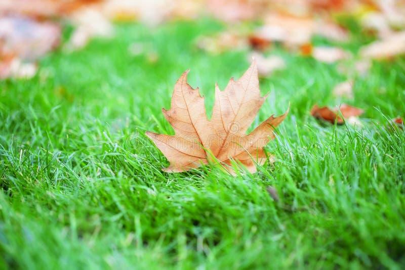 Yellow autumn leaf on green grass royalty free stock photos