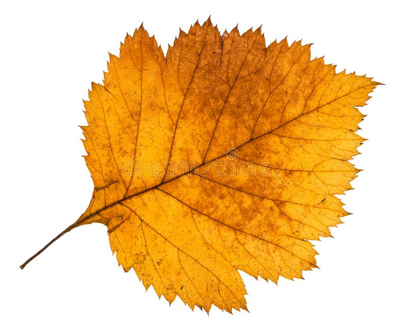 yellow autumn leaf of hawthorn tree isolated royalty free stock photos