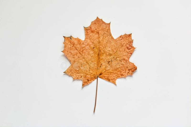 Yellow autumn leaf of Maple royalty free stock photos