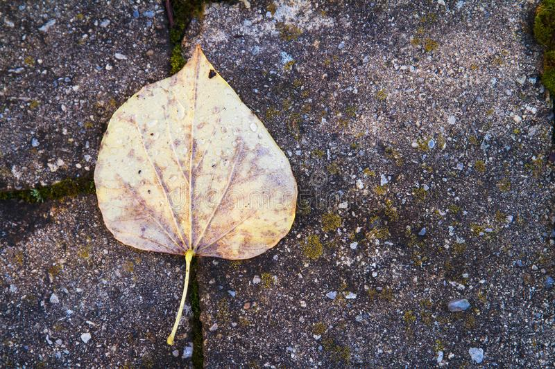 Yellow autumn leaf after the rain resting on stone patio tiles. Leaf placed on a textured paving stone royalty free stock photography