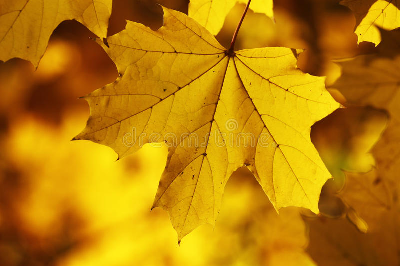 Yellow autumn leafs wallpaper stock images