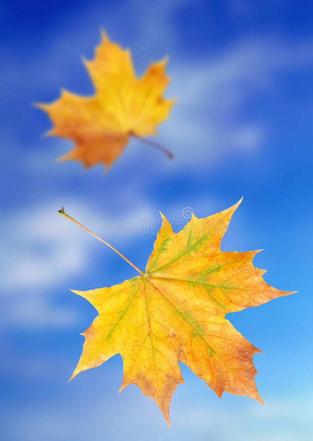 Yellow autumn leaves. Two yellow autumn leaves in a blue sky royalty free stock image