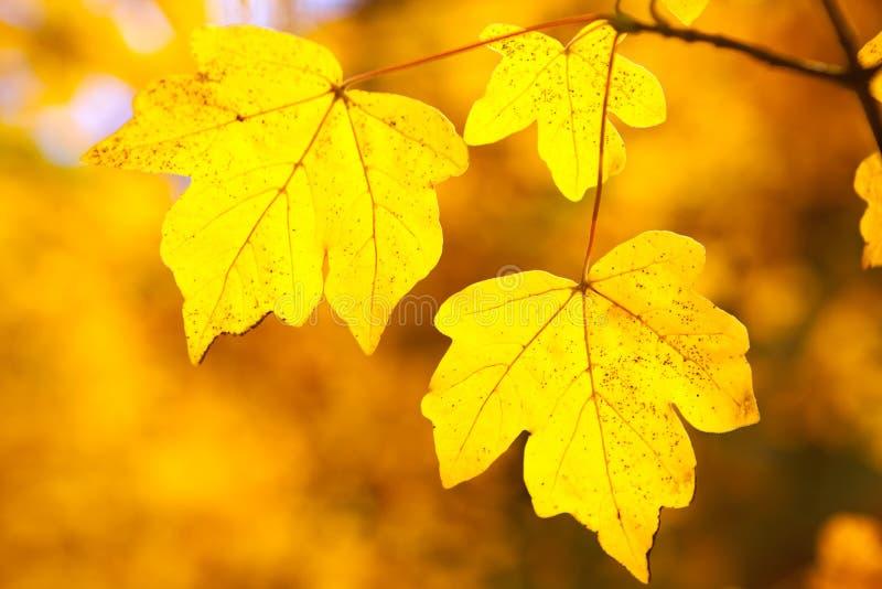 Yellow autumn leaves stock image