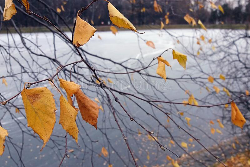 Yellow autumn leaves against frozen park pond. Yellow autumn birch tree leaves against frozen park pond. First frosty days royalty free stock image