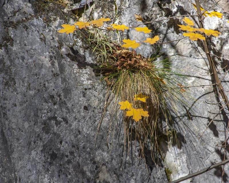 Yellow autumn leaves on a background of gray rock with green grass on it royalty free stock images