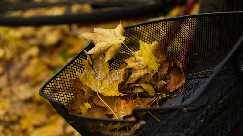 Yellow autumn leaves in a bicycle basket royalty free stock image