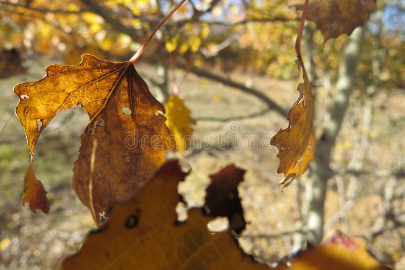 Yellow autumn leaves on a bright blue sky background. Last sunny days before winter stock photo