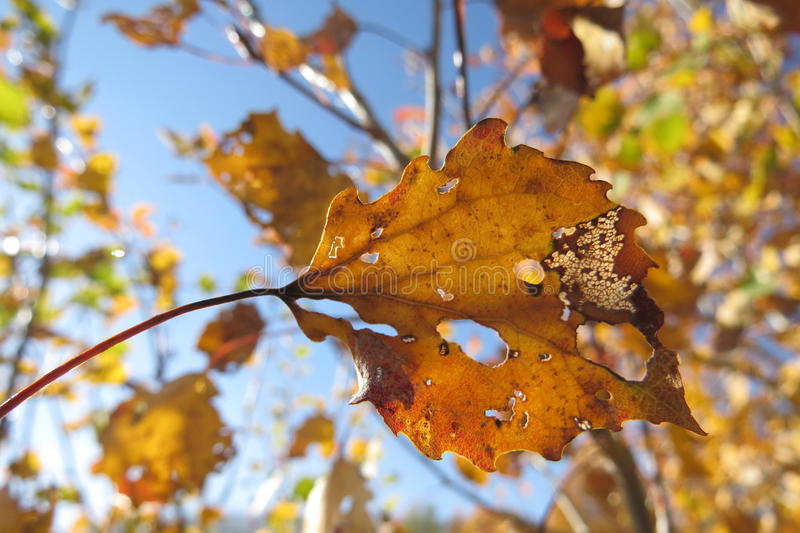 Yellow autumn leaves on a bright blue sky background. Last sunny days before winter stock images