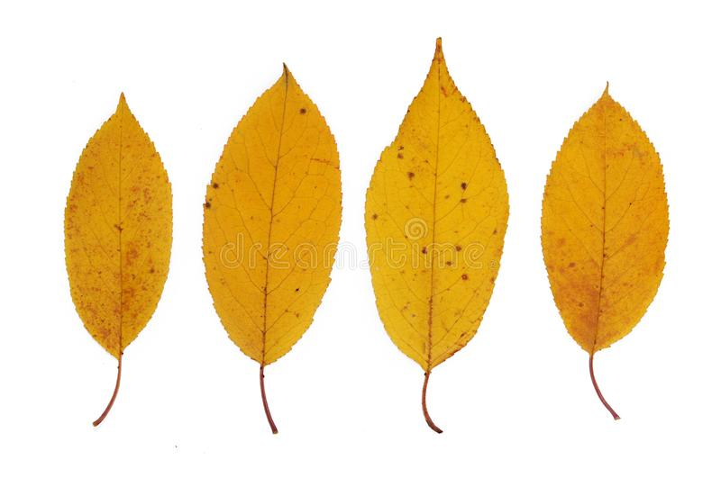 Yellow autumn leaves of cherry closeup. Isolated over white background royalty free stock images