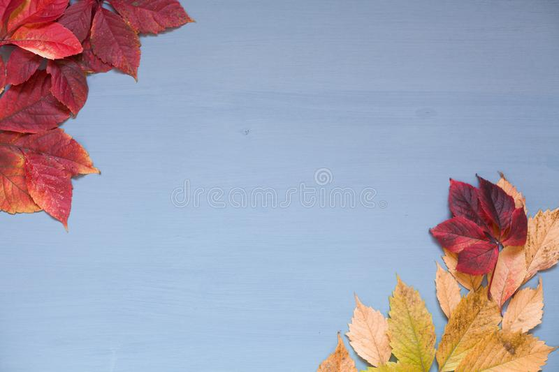 Yellow autumn leaves on grey blue background z royalty free stock image