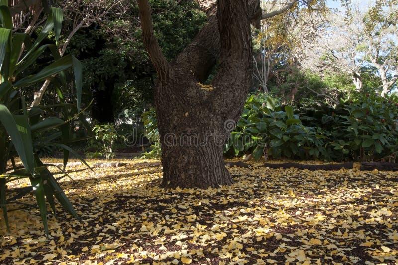 Yellow Autumn Leaves On Ground Below A Ginkgo Biloba Or Maiden