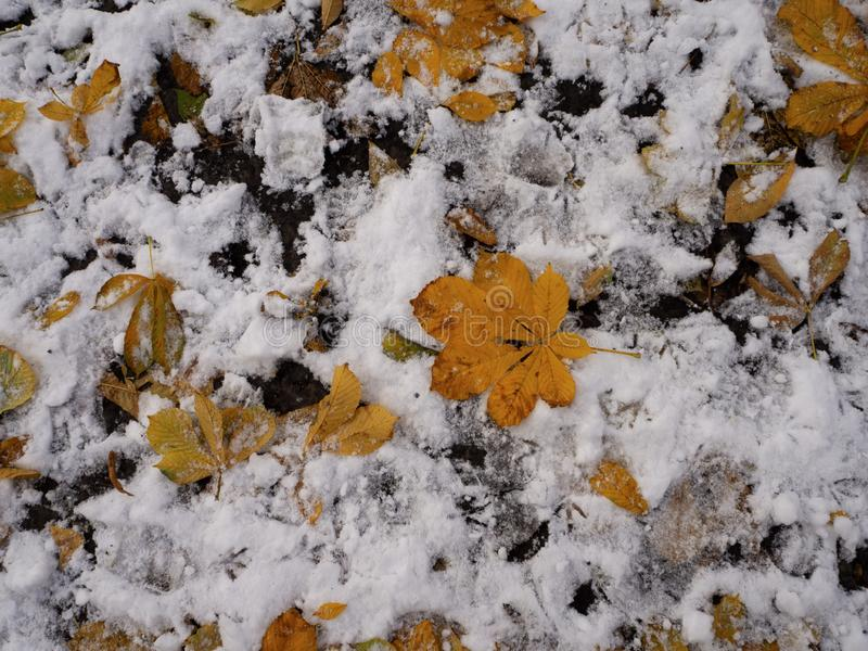 Yellow autumn leaves lie on the ground covered with first snow in november, bird footprints on the ground. Winter is coming.  stock photography