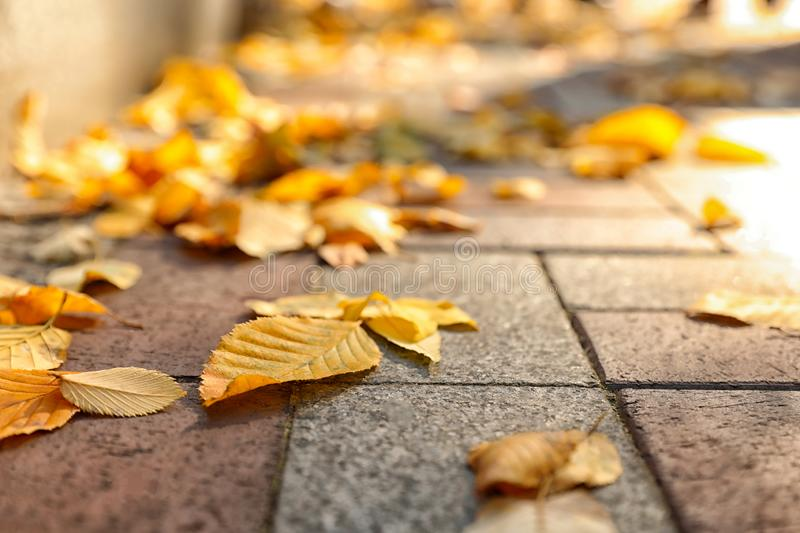 Yellow autumn leaves on paved street, closeup royalty free stock photography