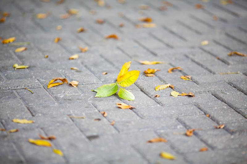 Yellow autumn leaves on a paving stone of a street. Close-up royalty free stock photos