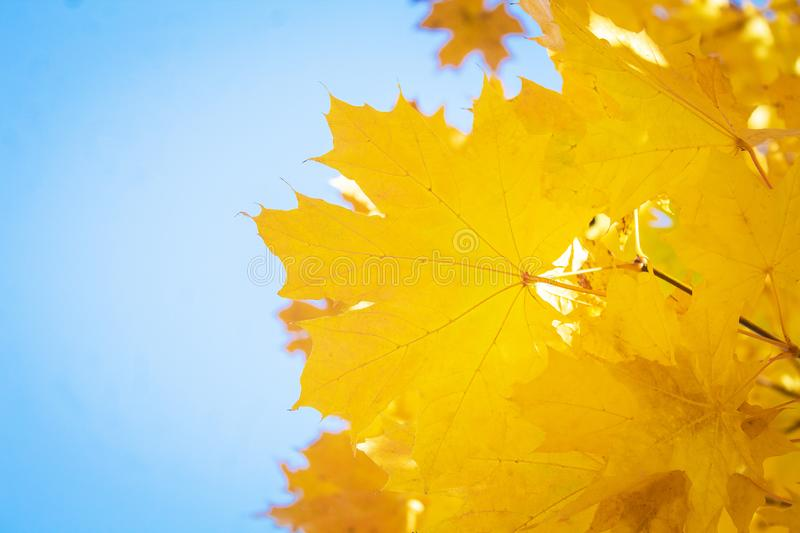 Yellow autumn leaves. Place for text royalty free stock photography