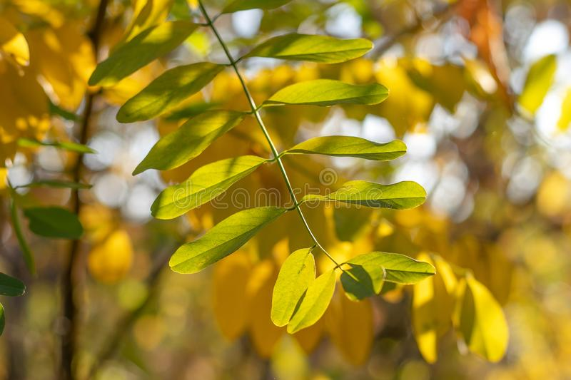 Yellow autumn leaves on tree. Abstract texture. Nature pattern. Tree branch, fall seasonal background. Tree plant, forest. Yellow autumn leaves on tree stock images