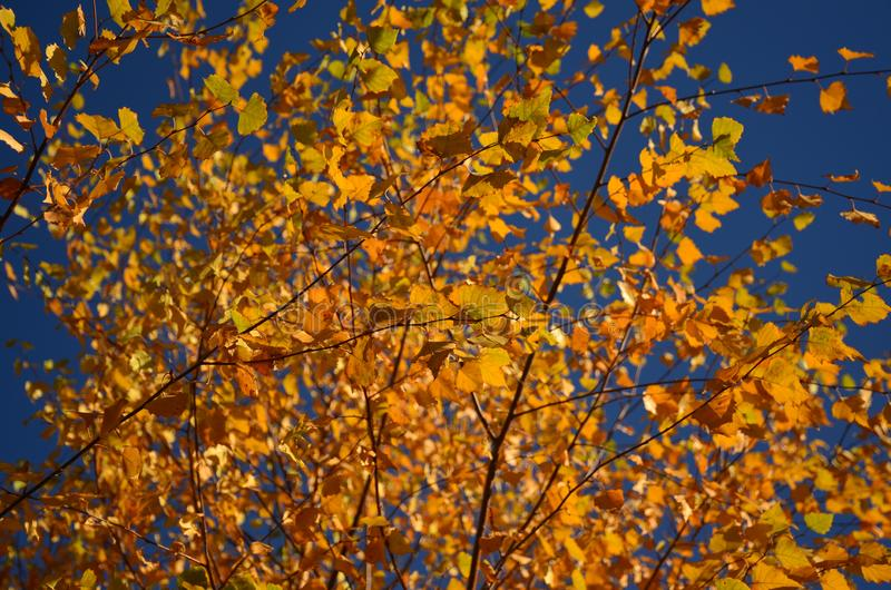 Yellow autumn leaves on the tree. In the background of the blue sky stock photography