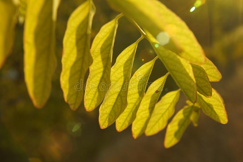 Yellow autumn leaves on the tree under the sun royalty free stock images