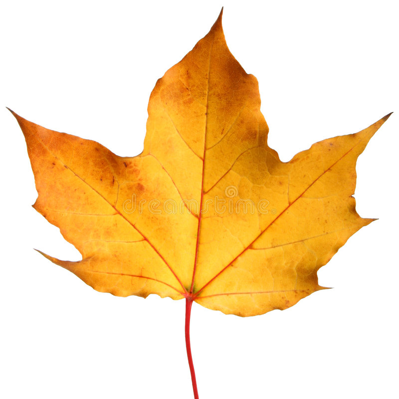 Free Yellow Autumn Maple Leaf Royalty Free Stock Image - 6804876