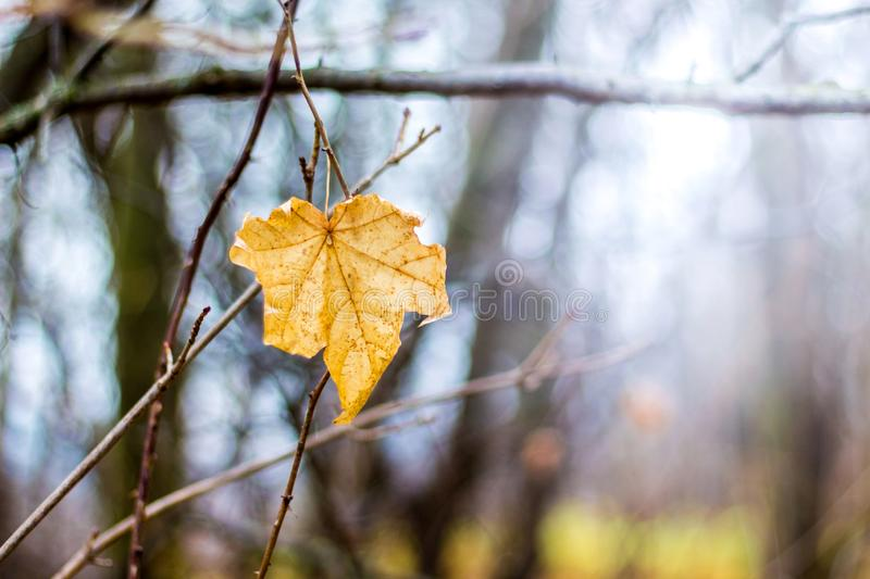Yellow autumn maple leaf on a tree branch_ royalty free stock image