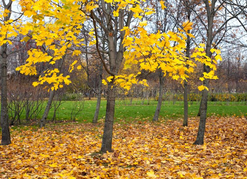 Yellow autumn maple leaves lying on the grass on and on the trees. Fall royalty free stock photos