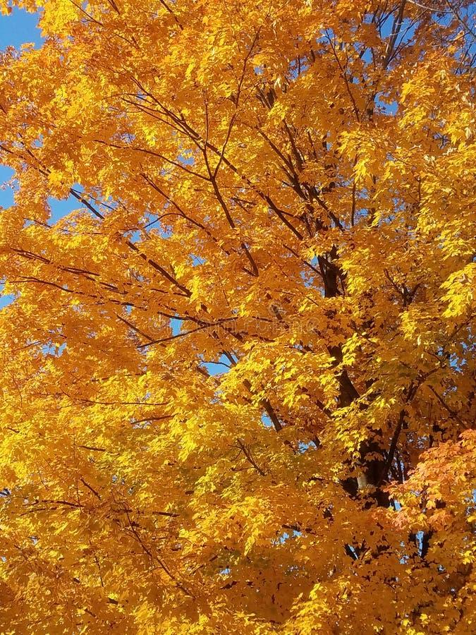 Yellow autumn maple tree royalty free stock photography