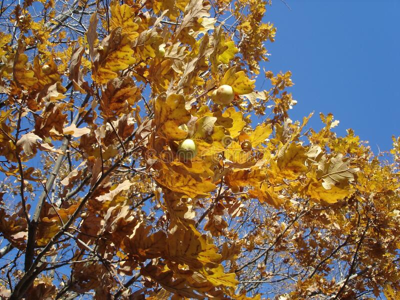 Yellow autumn oak leaves and galls on sky background royalty free stock images