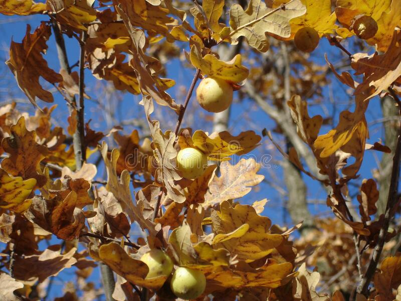 Yellow autumn oak leaves and galls on sky background stock photos