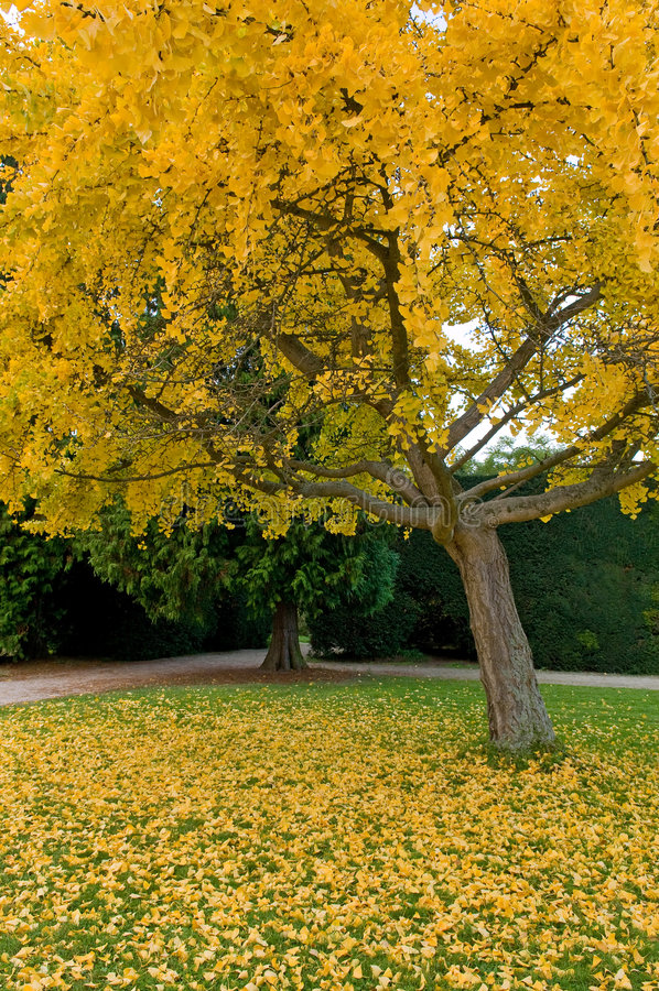 Yellow autumn tree. With leaves on the grass in the garden royalty free stock photos