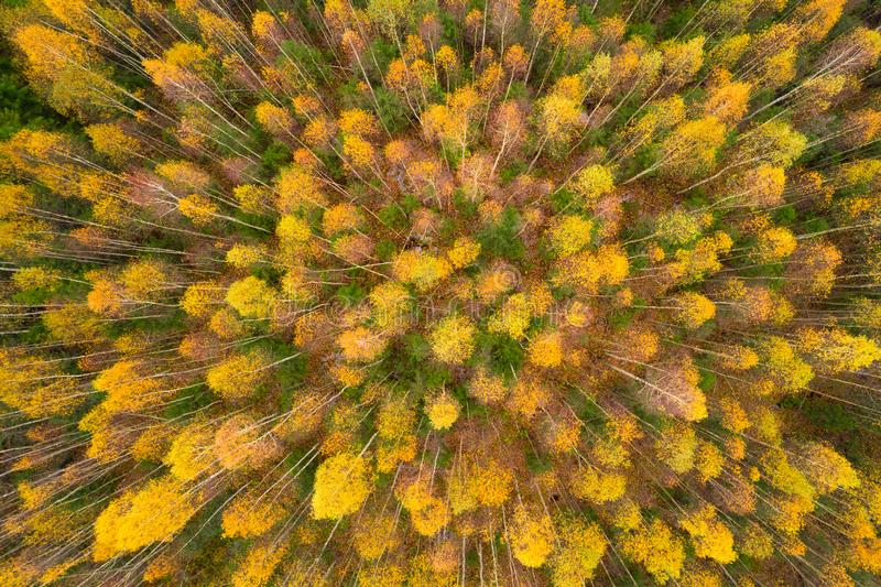 Yellow autumn trees from a drone. Aerial photo of an autumn forest stock images