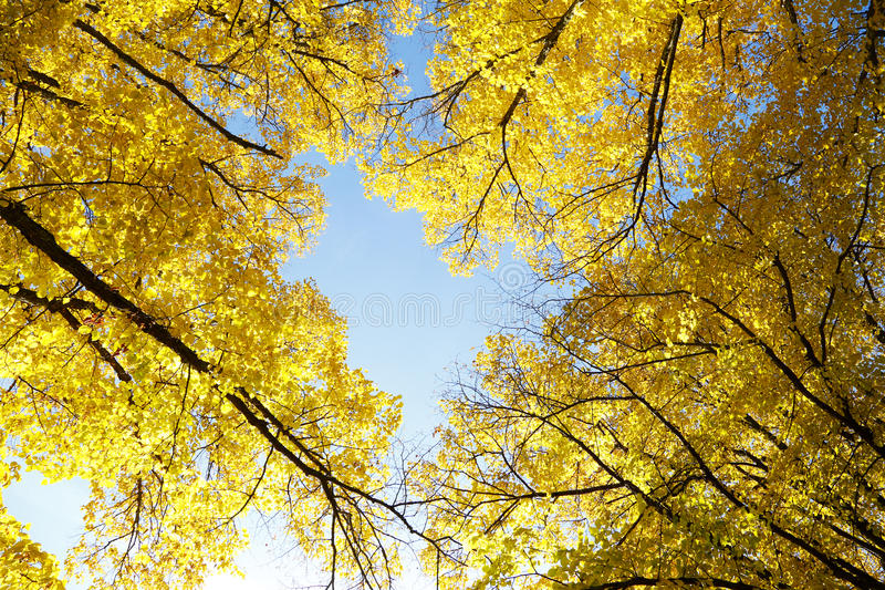 Yellow autumn treetops. Treetops seen from frog perspective with yellow autumn leaves royalty free stock photo