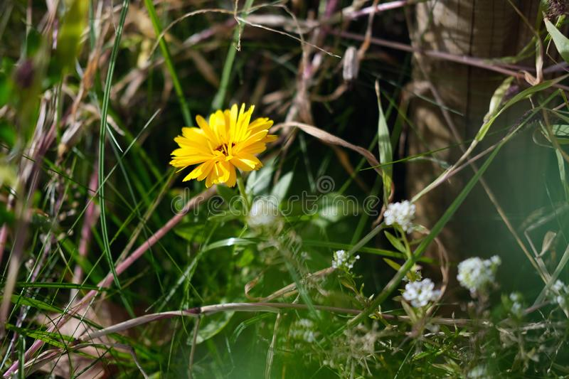 Yellow autumn wild flower in the meadow horizontal photo. Horizontal photo Yellow autumn wild flower in the meadow royalty free stock photos