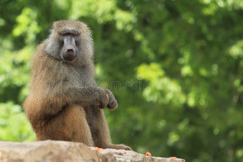 Yellow Baboon Stock Images