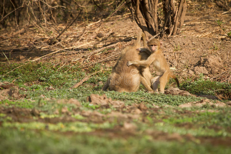 Yellow baboon baby. South Luangwa, Zambia royalty free stock photos