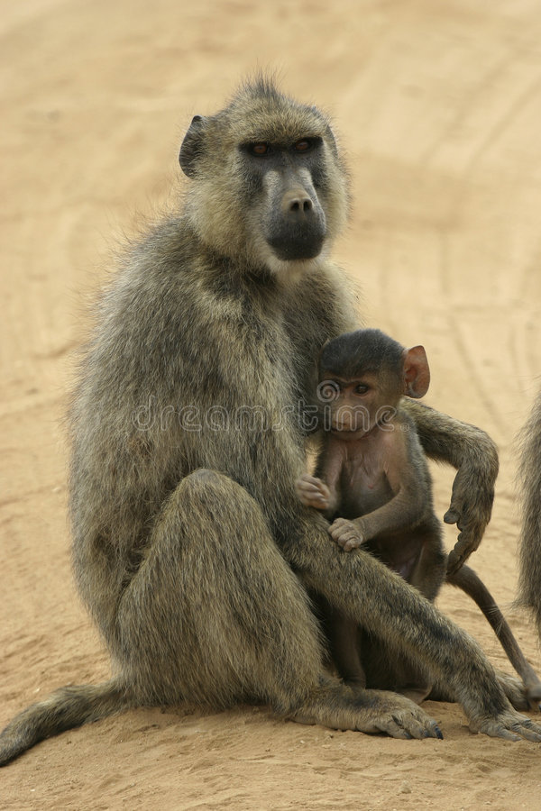 Yellow baboon mother and infant stock photography