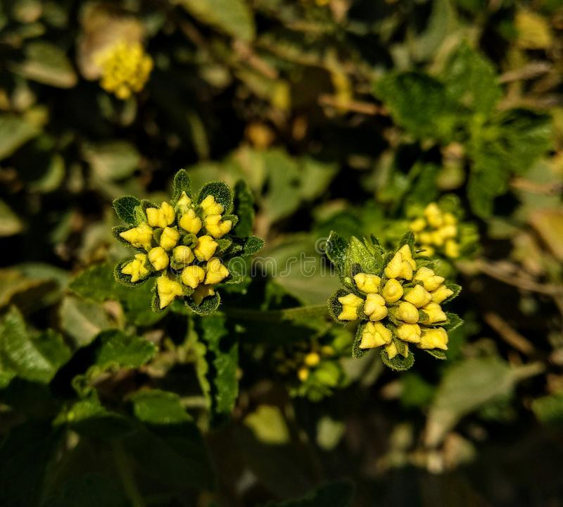 Yellow baby flowers stock image