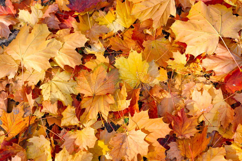 Yellow background. Yellow decorative maple leafs fall background royalty free stock photo