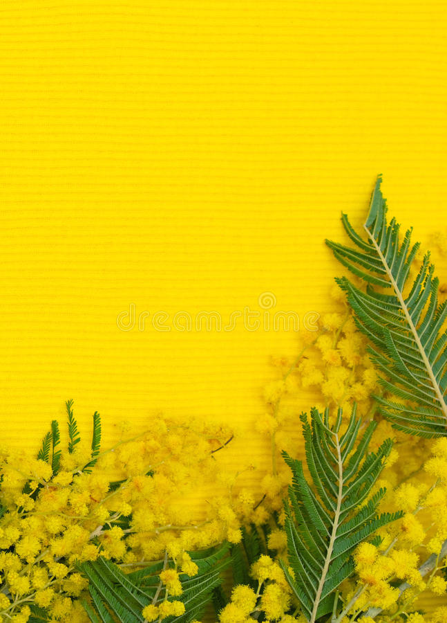 Download Yellow Background With Branch Of Mimosa Stock Photo - Image: 24299542