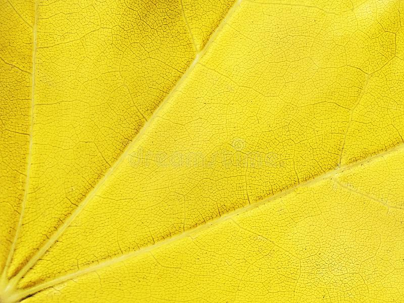 Yellow background, maple leaf, macro, close-up. Abstract bright background with dots stock photo
