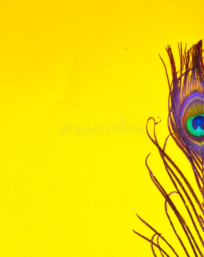 Yellow background,peacock feathers on yellow background,tail on yellow background stock image