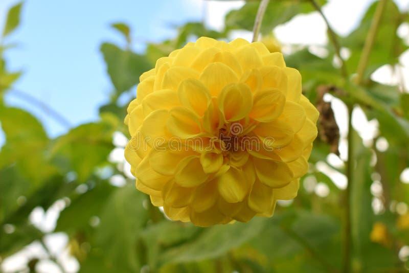 Yellow Ball Dahlia stock images