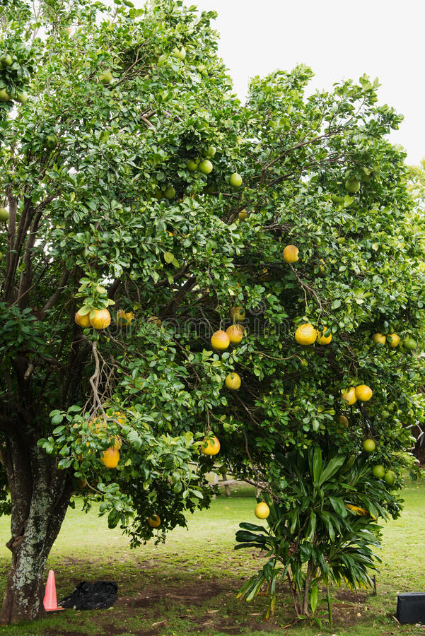Download Yellow balloon tree stock image. Image of idea, fruit - 83723787