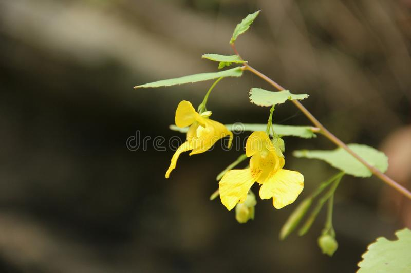 Yellow Balsam. Impatiens noli-tangere blooming along the Blue Ridge Parkway in South Carolina, USA royalty free stock photography