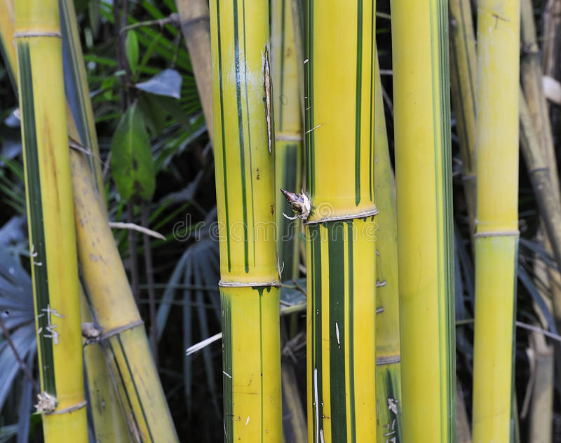 Download Yellow bamboo groves stock photo. Image of spring, trunk - 24886834