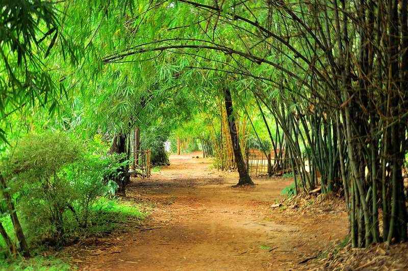 Yellow Bamboo in park