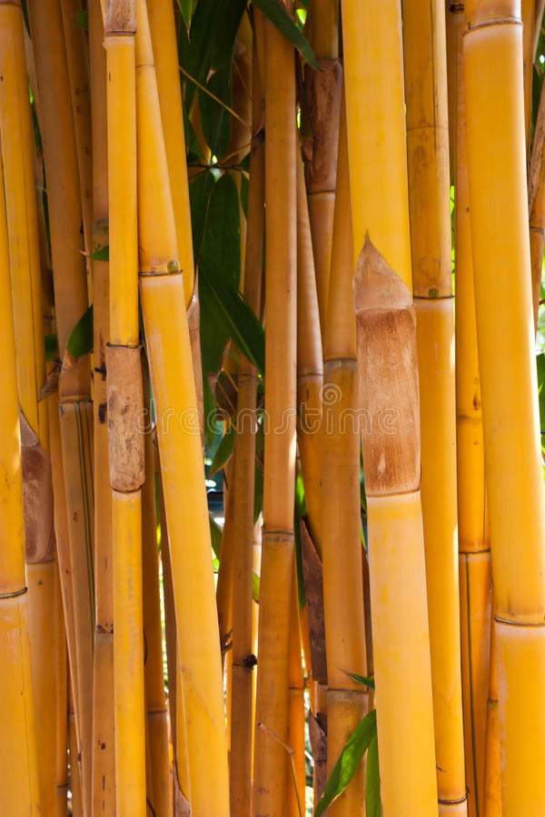 Yellow bamboo tree