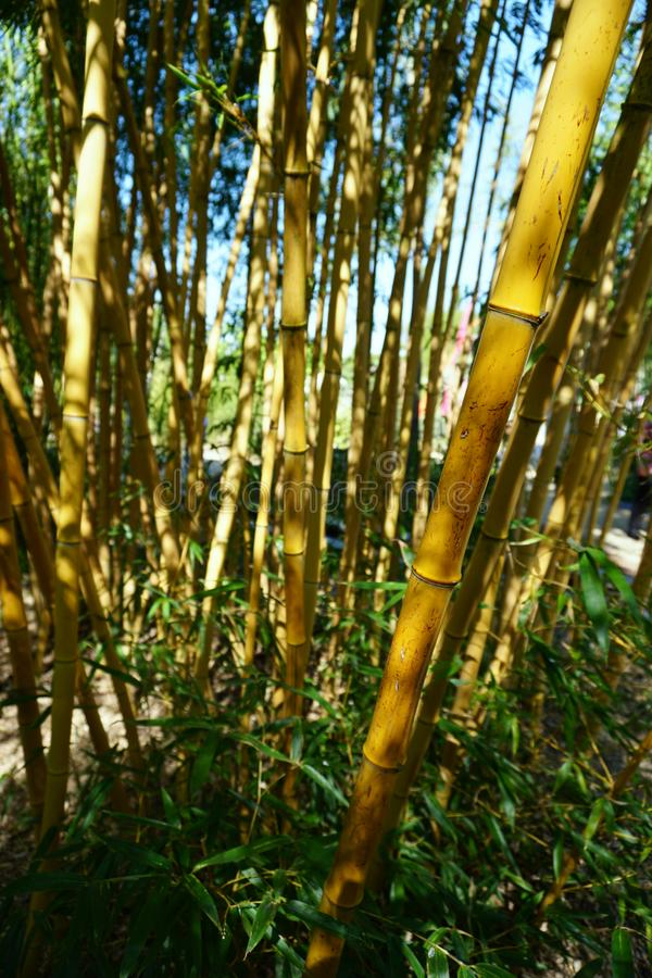 Yellow Old Bamboo Trees Background. Yellow Old Bamboo Trees in spring stock photo